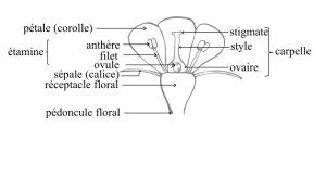 Coupe schématique d'une fleur