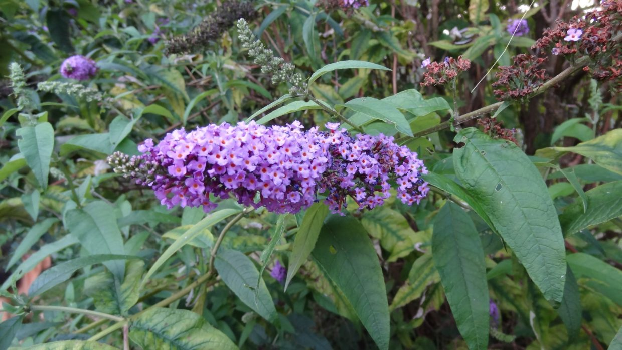 Buddleia de David