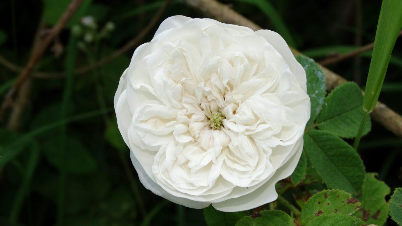 Rosier Blanche Moreau (Rosa Blanche Moreau)