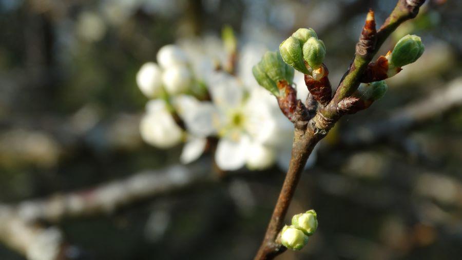 Borgeons de cerisier