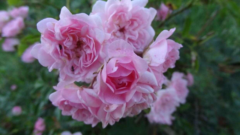 Rosier 'Albertine' (Rosa Albertine)
