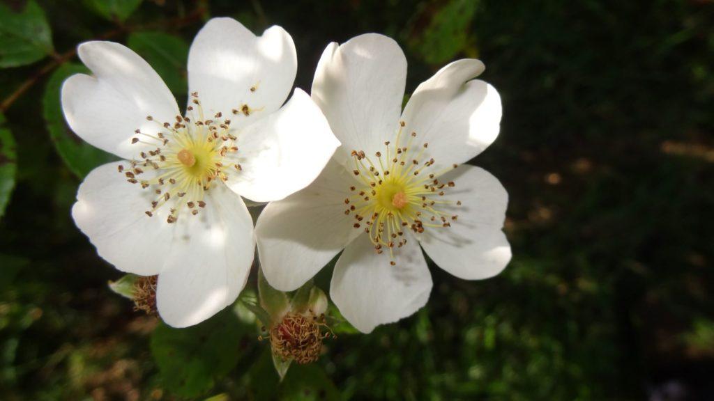 Rosa X pteragonis 'Cantabrigiensis'